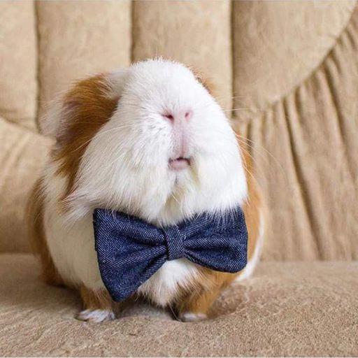 Bumblefoot | Wiki | Guinea Pigs Amino